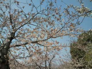 妙法寺川の桜